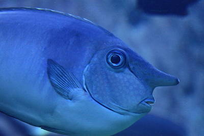 Unicorn Photograph - Bluespine Unicorn Fish by Karon Melillo DeVega