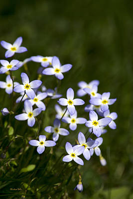 Bluet Flowers Print by Christina Rollo