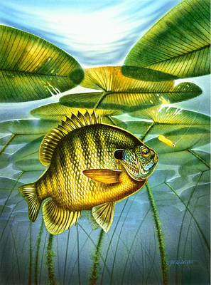 Angling Painting - Blugill And Lilypads by Jon Q Wright