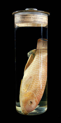 Parrotfish Photograph - Blunt-head Parrotfish by Natural History Museum, London
