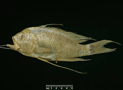 Blunt Headed Holy Fish Print by Natural History Museum, London