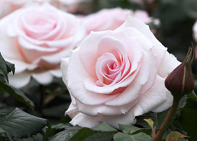 Love Photograph - Blush Pink Roses by Rona Black