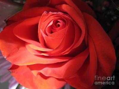 Luminous Drawing - Blushing Coral Rose by Tara  Shalton