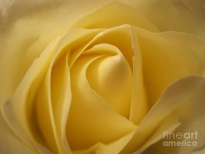 Blushing Cream Rose  Print by Tara  Shalton