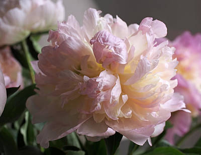 White Flowers Photograph - Blushing Peony by Rona Black