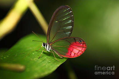 Lacewing Photograph - Blushing Phantom Butterfly by James Brunker
