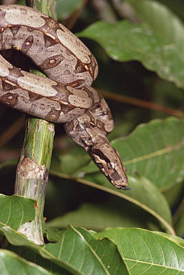 Boa Constrictor Photograph - Boa Constrictor Coiled South America by Gerry Ellis