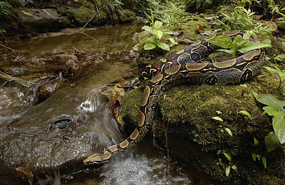 Boa Constrictor Photograph - Boa Constrictor Crossing Stream by Pete Oxford
