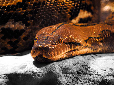 Boa Constrictor Photograph - Boa Constrictor by Jai Johnson
