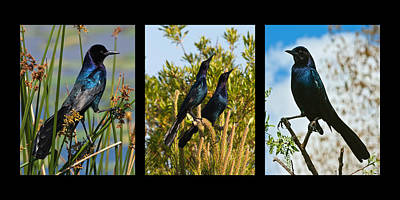 Collage Photograph - Boat Tailed Grackle Triptych by Dawn Currie