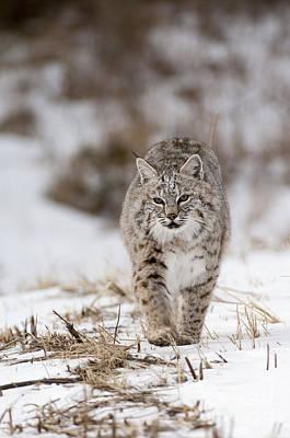 Mammals Photograph - Bobcat-wildlife-image 7 by Wildlife Fine Art