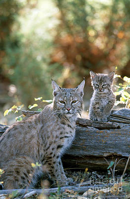 Bobcat Adult And Young Lynx Rufus Print by Art Wolfe