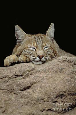 Bobcat, Arizona Print by Art Wolfe
