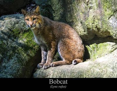 Bobcat Print by Chris Flees