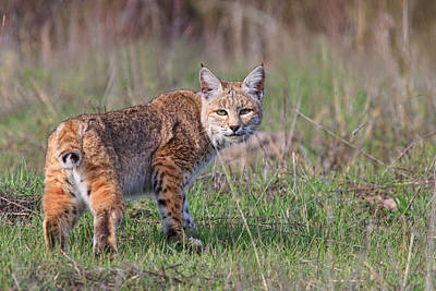 Bobcat Glance Print by Beth Sargent