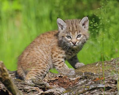 Bobcat Kitten  Felis Rufus  On Log Print by Rebecca Grambo