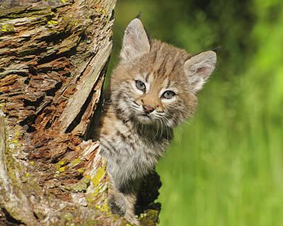 Bobcat Kitten  Felis Rufus  Peeks Print by Rebecca Grambo