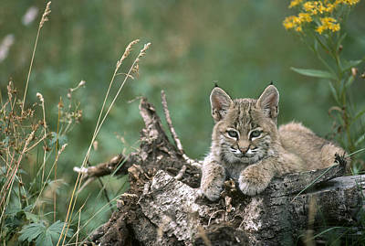 Bobcat Kitten Resting On A Log Idaho Print by Michael Quinton