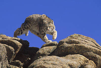 Bobcat Leaping From Rocks Colorado Print by Konrad Wothe