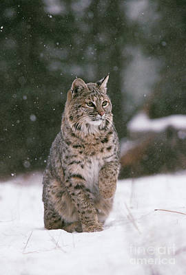 Bobcat Lynx Rufus In Winter Snow Print by Ron Sanford