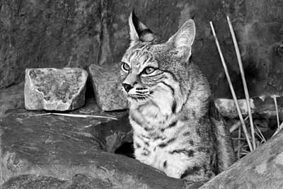 Bobcats Photograph - Bobcat by Nikolyn McDonald