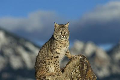 Bobcat  Rocky Mountains Print by Konrad Wothe