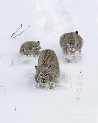 Bobcats Photograph - Bobcat Trio by Wildlife Fine Art