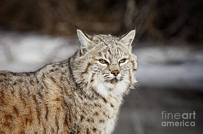Mammals Photograph - Bobcat-wildlife-image 12 by Wildlife Fine Art