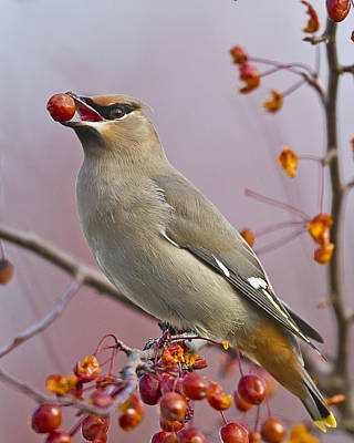 Bohemian Waxwing With Fruit Print by John Vose