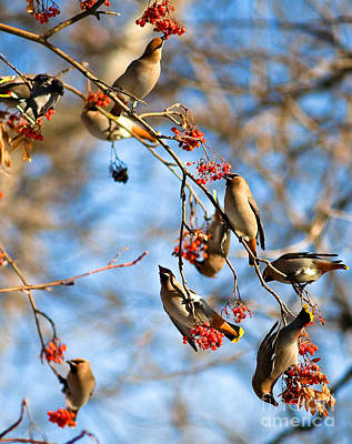 Wildlife Photograph - Bohemian Waxwings Eating Berries 2 by Terry Elniski
