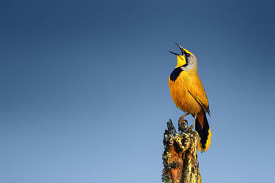 Perched Photograph - Bokmakierie Bird Calling by Johan Swanepoel