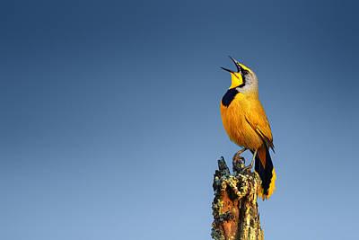 Yellow Beak Photograph - Bokmakierie Bird Calling by Johan Swanepoel