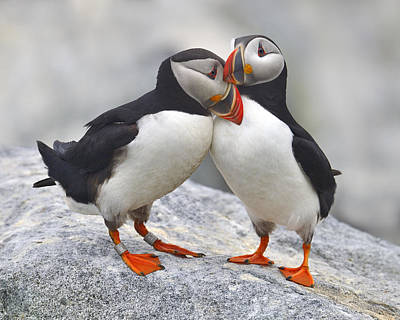Puffins Photograph - Bonded And Banded by Tony Beck