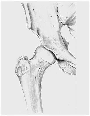 Human Joint Drawing - Bones Of The Hip Joint by Kathryn Foster