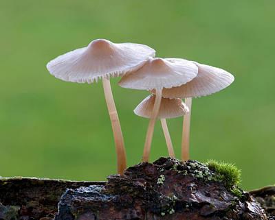 Mushroom Photograph - Bonnet-cap Fungus (mycena Galericulata) by Nigel Downer