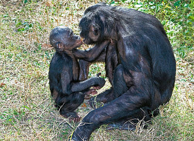 Bonobos kissing