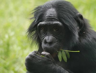 Chimpanzee Photograph - Bonobo Eating by Dan Sproul