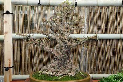 Bonsai Treet - Us Botanic Garden - 01136 Print by DC Photographer
