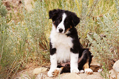 Border Collie Puppy Sitting On Rock Print by Piperanne Worcester