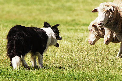 Border Collie Staring At Three Sheep Print by Piperanne Worcester