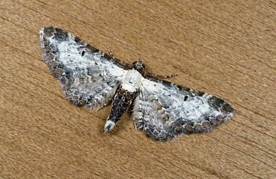 Bordered Pug Moth Print by Nigel Downer