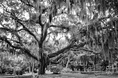 Bosque Bello Oak Print by Dawna  Moore Photography