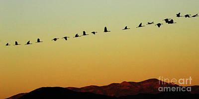 Bosque Del Apache Cranes In Flight 1 Print by Bob Christopher