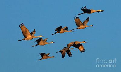 Bosque Del Apache Cranes In Flight Print by Bob Christopher