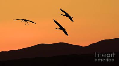 Bosque Del Apache Incoming Sandhill Cranes Print by Bob Christopher