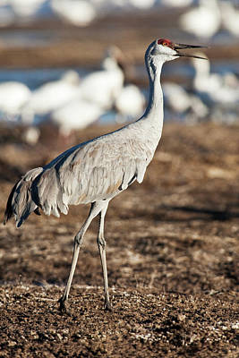 Bosque Del Apache National Wildlife Print by Rick A Brown