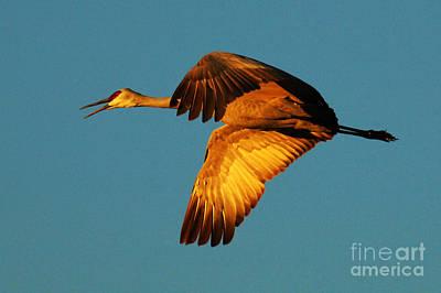 Bosque Del Apache Sandhill Crane Golden Light Print by Bob Christopher