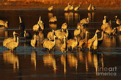 Bosque Del Apache Sandhill Cranes Golden Light Print by Bob Christopher