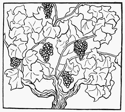 Grape Vines Drawing - Botany Grapes, 1910 by Granger