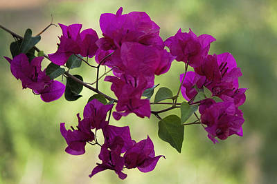 Arizona Photograph - Bougainvillea by Fred Larson